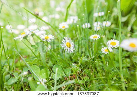 Daisy On The Meadow