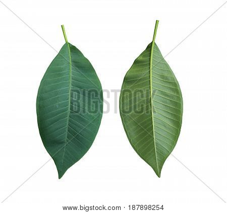 Green Plumeria leaves of tropical trees in Thailand and have clipping paths to easy deployment.