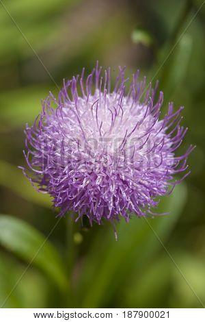Flora Of Gran Canaria - Cheirolophus Arbutifolius