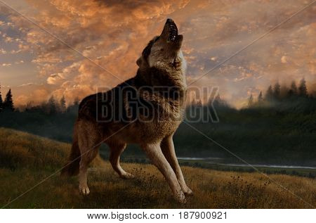 The wolf howls in the foggy sunset