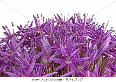 Many purple flowers of the ornamental onion (Allium giganteum) cultivar Globemaster isolated against a white background