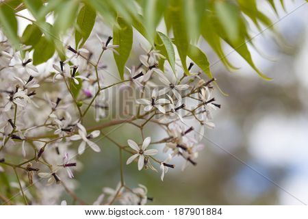 Flowering  Chinaberry Tree Background
