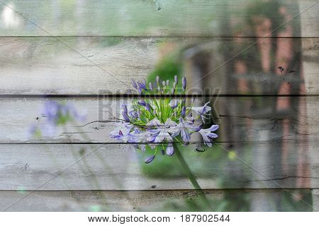 Overlay violet beautiful flower on old wood background and texture