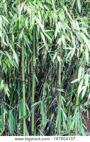 Black Bamboo Thicket growing in a Garden