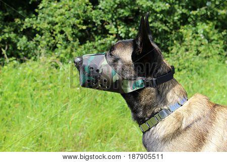 Belgian shepherd dog malinois with muzzle in nylon color camouflage