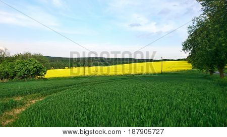 Landscape shot of the rapeseed field with blue sky and white clouds.