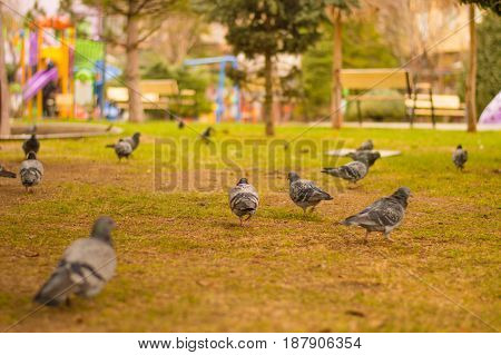 Closeup of flock of pigeons searching for food in a green lawn in a park on a sunny day