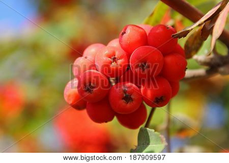 Branch of red mountain ash in the forest. Rowan ripe orange on a branch. The sun through the trees. Autumn fruits and berries. Harvest in September