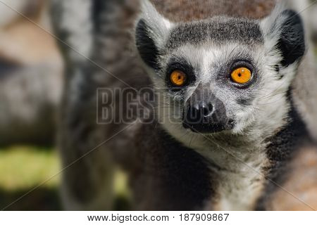 Face lemur catta popular monkey from madagascar.