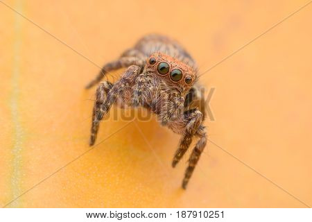 Carrhotus sannio (female) or Jumping spider on yellow leaf