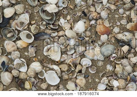 Clams and shells with open drift Clams and shells with open drift