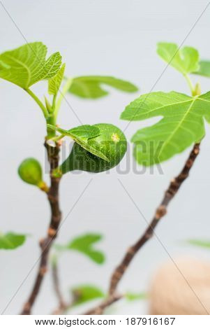 Bonsai fig with a green fruit. Green bonsai figs on a light gray background. Room fig with an immature fruit.