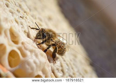Springtime. Macro shot of bee sitting and working on a honeycomb.