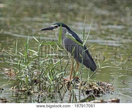 Striated Heron Perched On Plants In River
