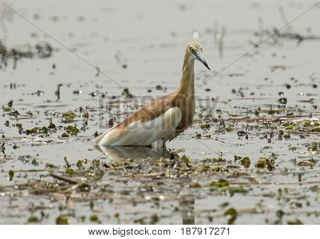 Squacco Heron Perched In Water On Grass Reeds