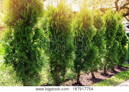 evergreen hedge of thuja trees on sunny day