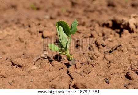seed bow grass young growing organic earth farm ground crop grow vegetable gardening sprout food seedling green plant agriculture soil leaf nature growth garden spring peas