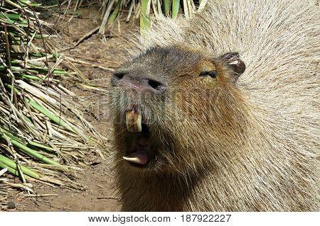 Capybara Hydrochoerus rodent animal yawns and bares teeth