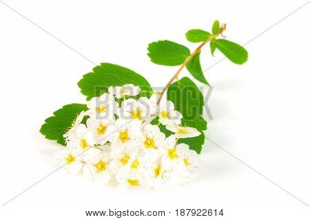 Flowers of Spirea aguta or Brides wreath isolated on white background close-up.