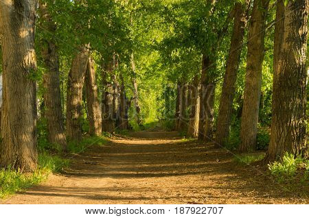 Empty alley of old trees at sunset on a spring or summer evening