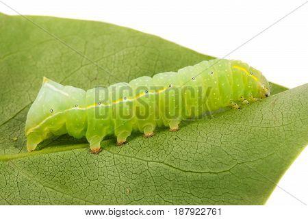 Green beautiful caterpillar on leaf close up.