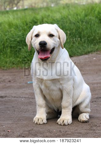 A Yellow Happy Labrador Puppy In Garden
