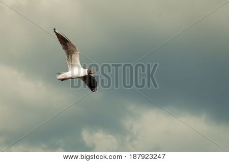 White Seagull flying in the sky spreading wings. The concept of freedom. Place for text