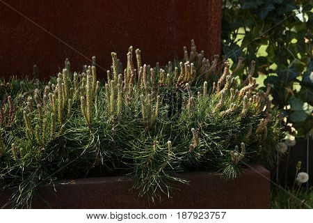 Decorative mountain pine. Pinus mugo, dwarf cultivar pine, outdoor design.