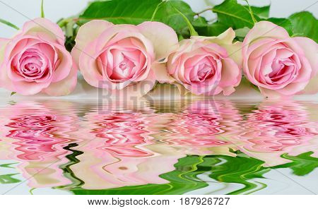 Row of four pink roses reflected in the water surface with small waves