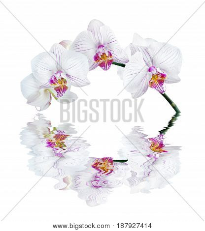 White orchid phalaenopsis isolated on a white background reflected in the water surface with small waves