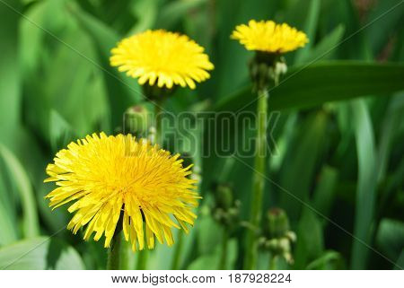 Yellow beautiful  three Dandelion flowers in macro