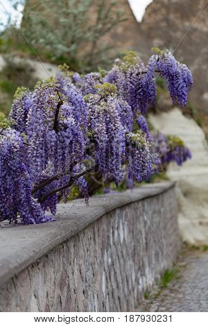 Vertical shot of beautiful wisteria flower blooming