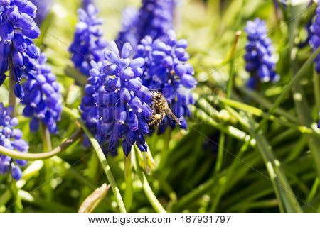 Bee Pollinating Blue Flower Blue. Sunny Day