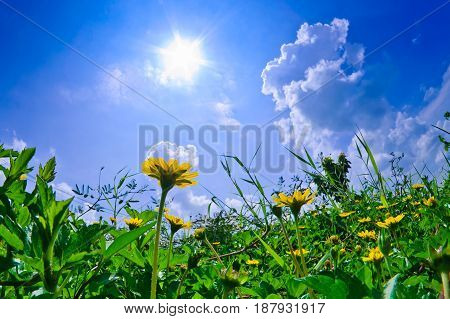 Little yellow Daisy in the garden with blue sky and clouds background in vintage style soft focus.