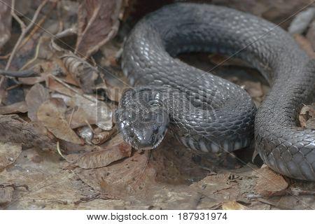 Dangerous Black Snake