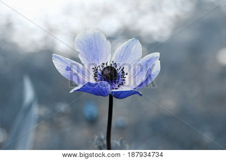 Anemone In The Garden, In Shades Of Blue