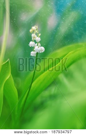 Delicate Lily of the valley on a beautiful background. Selective soft focus.