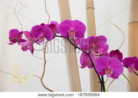 Pink Phalaenopsis Orchid Between Bamboo Cane