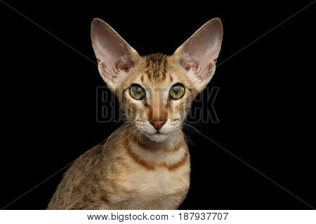 Portrait of Ginger Peterbald Kitten with Curious face, on isolated black background, front view