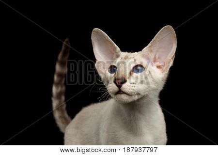 Portrait of White Peterbald Kitten with blue eyes, on isolated black background, front view