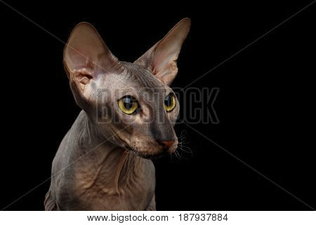 Portrait of Peterbald naked Cat Looking side on isolated black background, profile view