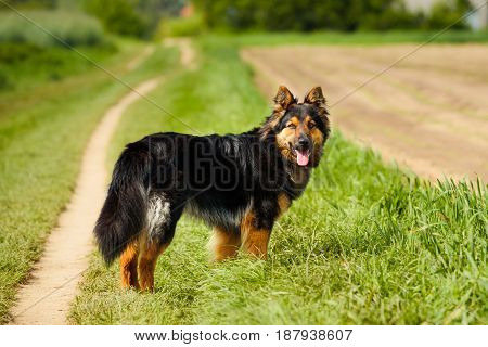The Bohemian Shepherd is a breed of dog also known as the Chodsky pes or the Chodenhund.