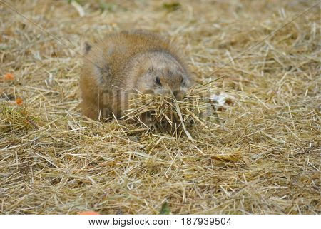 Close up of black tailed prairie dog (Cynomys ludovicianus).