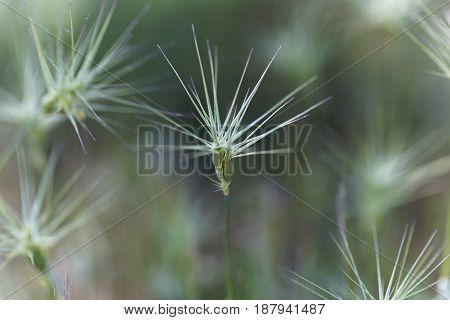 Spike of ovate goatgrass (Aegilops geniculata) from the Mediterranean region.