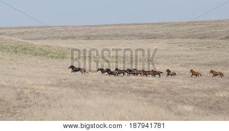 A herd of horses runs along the steppe. Volgograd Region Russia.