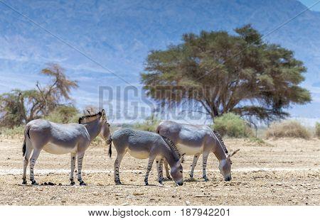 Family of Somali wild donkey (Equus africanus) inhabits nature reserve near Eilat city, Israel