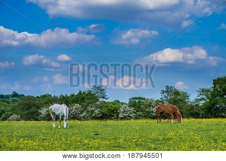 Horses grazing in the field full of buttercup flowers in Woodgate Valley Country Park.