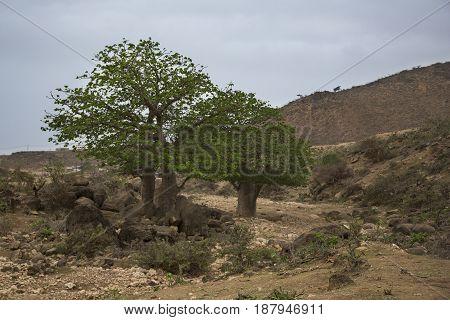 baobab tree in a landscape of Salalah Oman