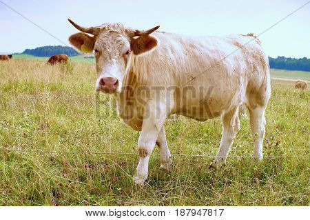 White Cow Grazing In The Meadow. Hot Sunny Day On Meadow With Yellow Grass Stalks. Flies Sit On Cow