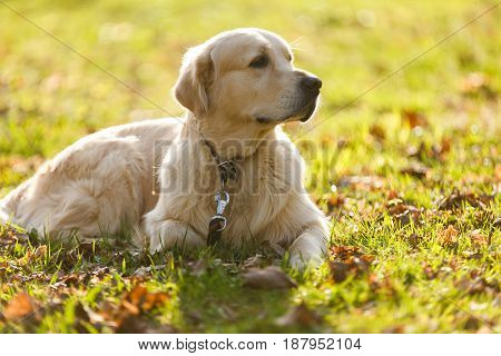 Dog in collar lies on lawn in park during day